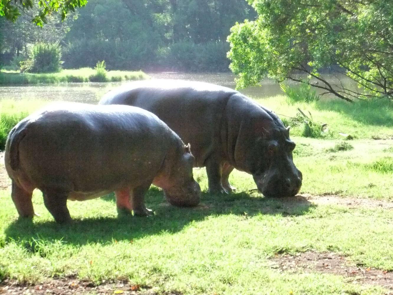 Flußpferde in Kenia