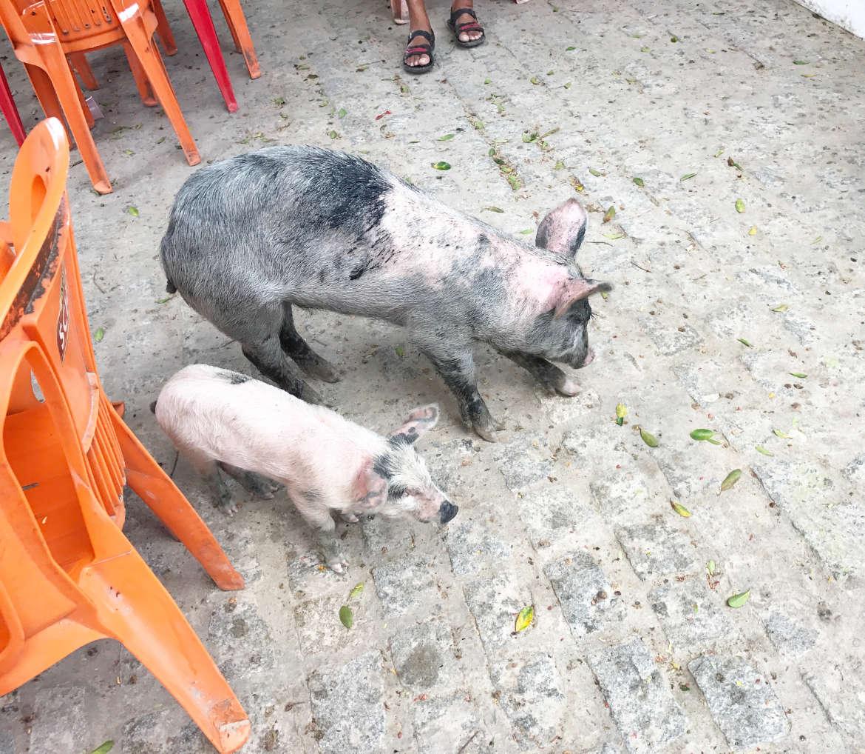 schweina